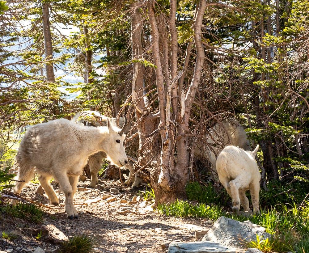 mountain goats on hidden lake overlook trail Montana