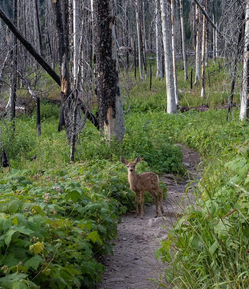 Fawn on trail on St. Mary's trail Montana
