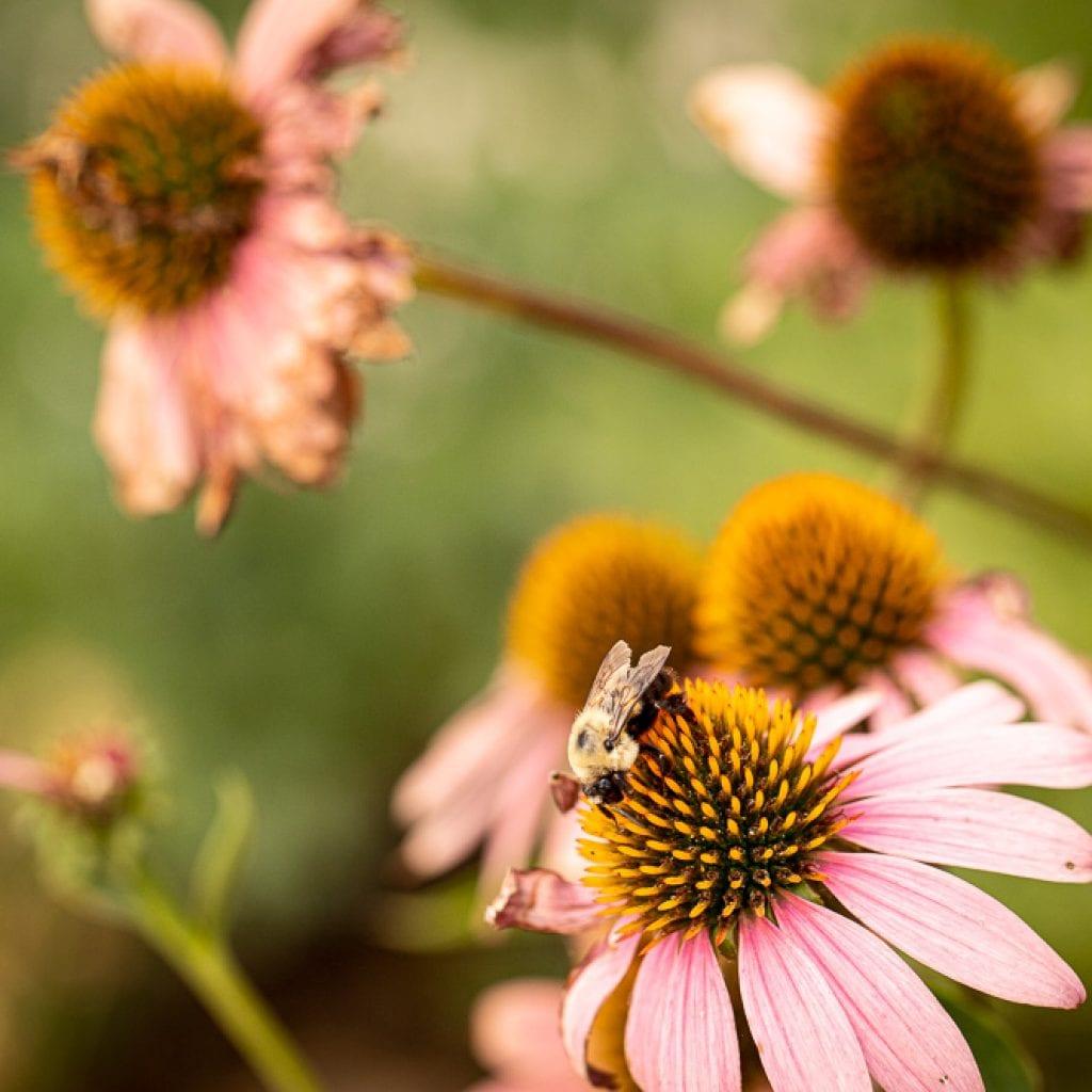 bee landing on echinacea flower